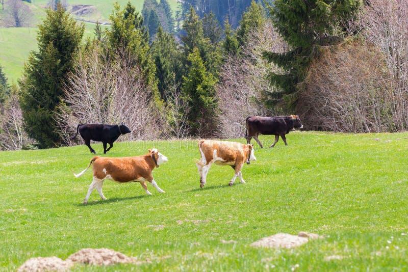 Quatro touros novos que correm no prado verde, árvores, floresta imagens de stock royalty free