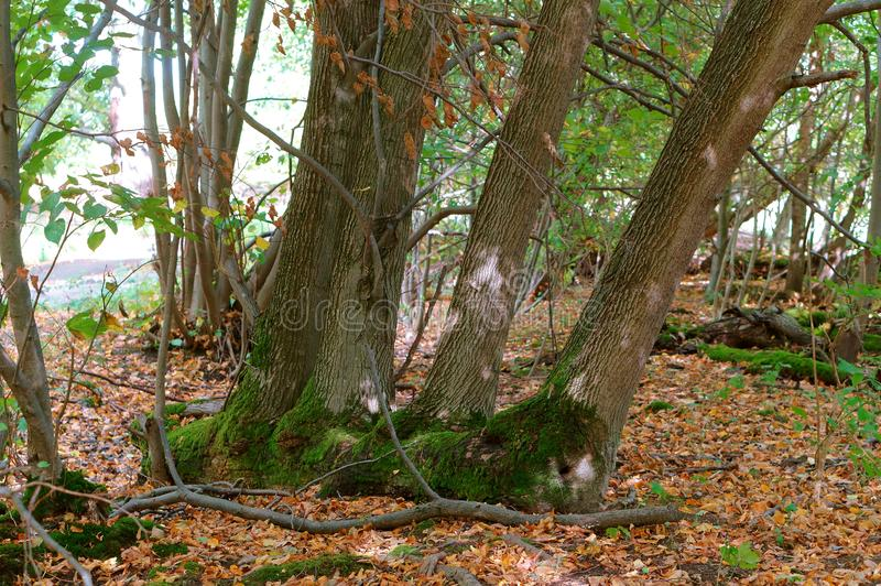 Quatro troncos de árvore, floresta do outono, árvores velhas próximos um do outro foto de stock