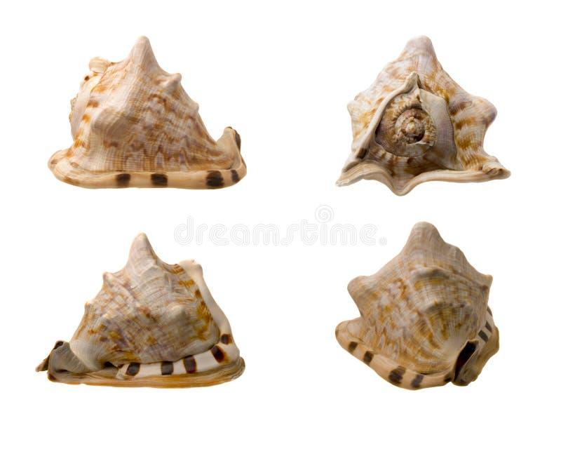 Quatro vistas de um búzio Shell fotografia de stock