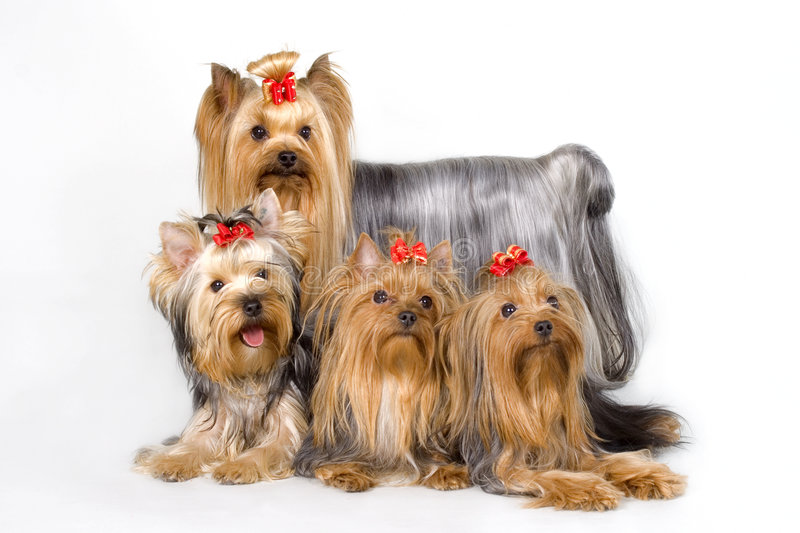 Quatro Yorkshireterriers no whit foto de stock royalty free