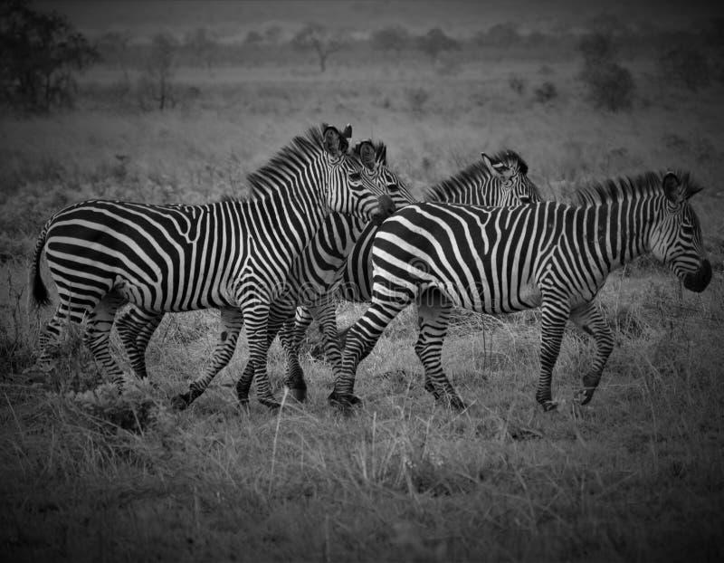 Quatro zebras no savana africano foto de stock royalty free