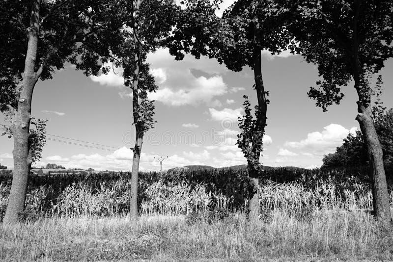 Quattro alberi davanti al campo di grano vicino alla città di Volyne in rebublic ceco l'11 agosto 2018 durante il pomeriggio di e immagini stock