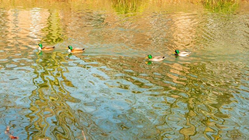 Quattro anatre del germano reale che nuotano tranquillamente in uno stagno con acqua cristallina fotografie stock libere da diritti