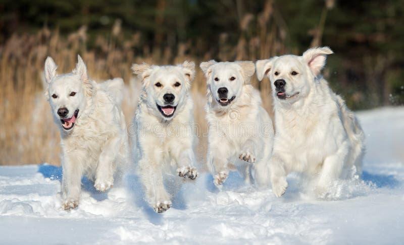 Quattro cani di golden retriever che corrono all'aperto nell'inverno immagine stock libera da diritti