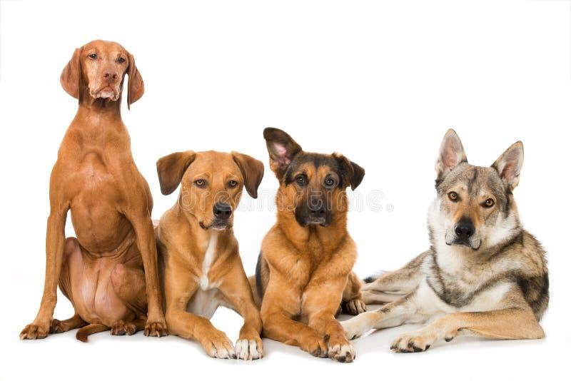 Quattro cani su fondo bianco immagine stock