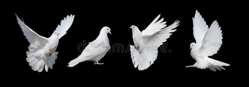 Quattro colombe bianche fotografia stock libera da diritti