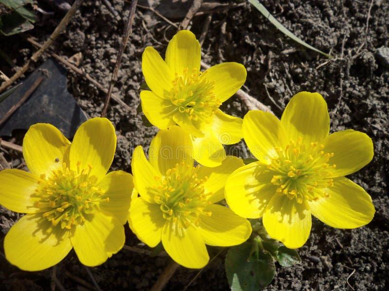 Quattro croco gialli luminosi fotografie stock
