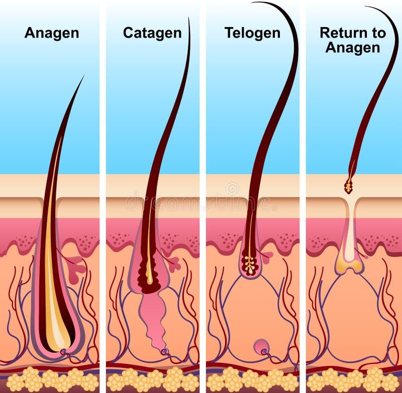 Quattro fasi del ciclo di crescita dei capelli illustrazione vettoriale