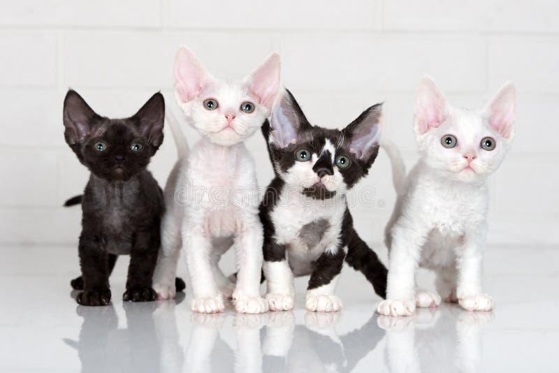 Quattro gattini del rex del Devon immagine stock