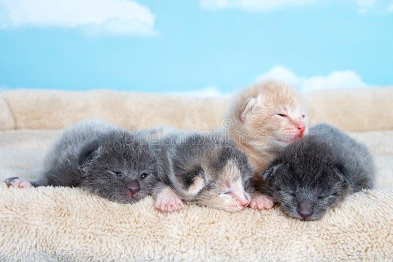 Quattro gattini settimane di età uno osserva ancora principalmente il togeth situantesi chiuso fotografia stock libera da diritti