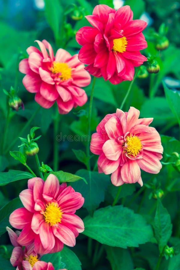Quattro germogli dei fiori rossi delle asteracee con un mezzo giallo fotografia stock