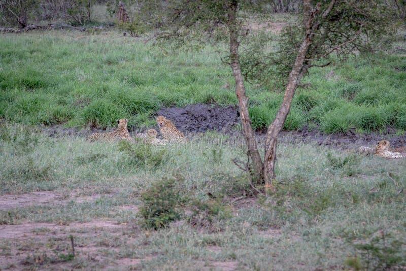 Quattro ghepardi che si nascondono in una linea di drenaggio fotografie stock