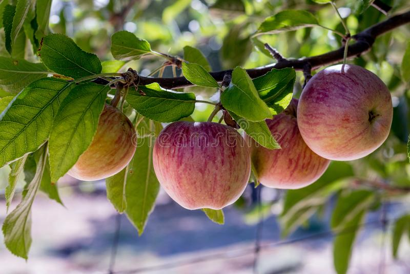 Quattro mele organiche delizia di cimelio rosso maturo organico naturale fresco sui rami in di melo, sano, dieta amichevole, dolc fotografia stock