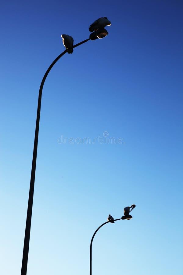 Quattro pellicani su due pali della luce contro un chiaro cielo blu immagini stock