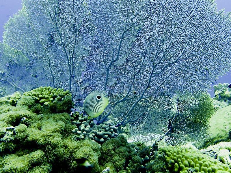 Quattro pesci di farfalla Eyed fotografia stock libera da diritti
