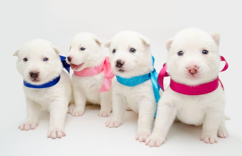 Cuccioli del husky immagini stock libere da diritti