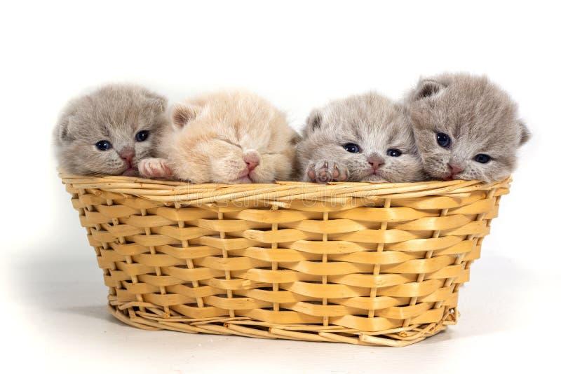 Quattro piccoli gattini britannici si siedono in un canestro di vimini Un gattino sta dormendo immagine stock libera da diritti