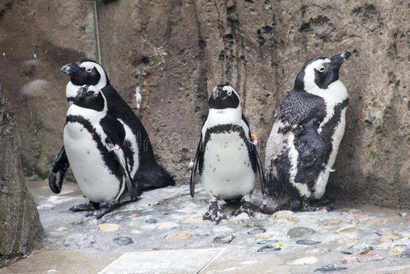 Quattro pinguini immagini stock