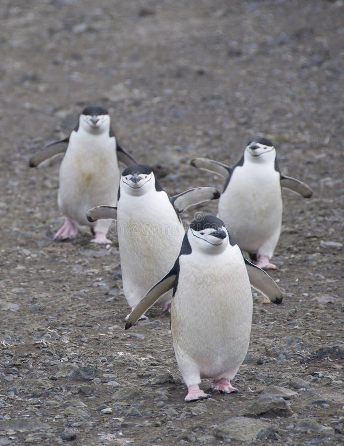 Quattro pinguini del chinstrap fotografie stock libere da diritti