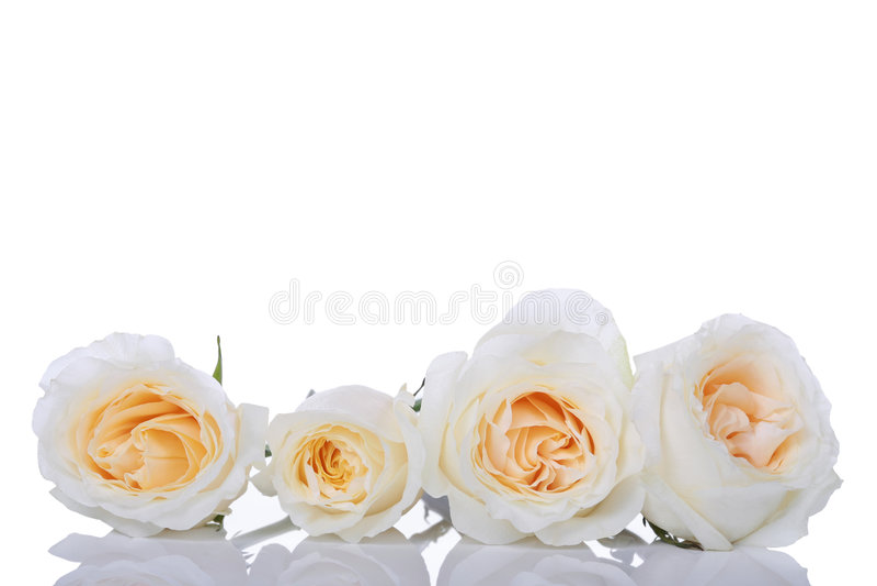 Quattro rose bianche immagini stock