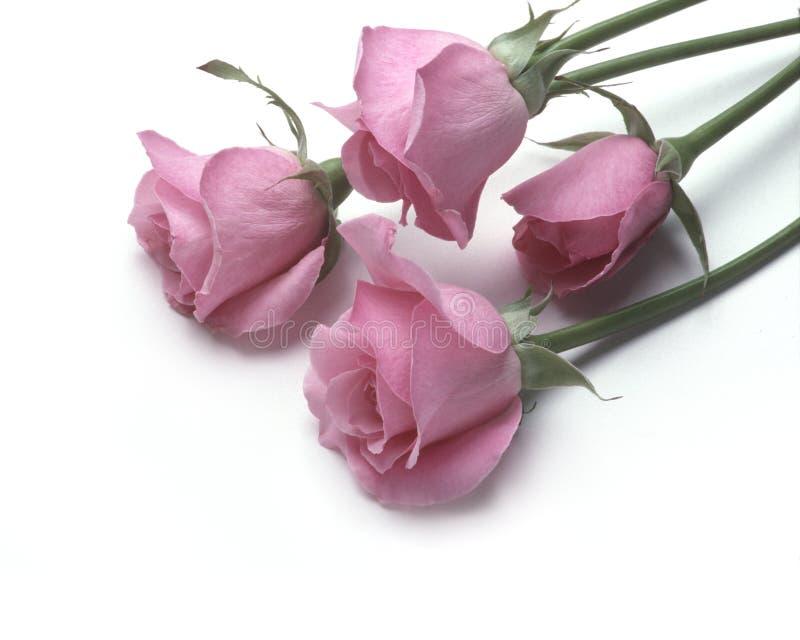 Quattro rose dentellare che si trovano su una superficie bianca immagine stock