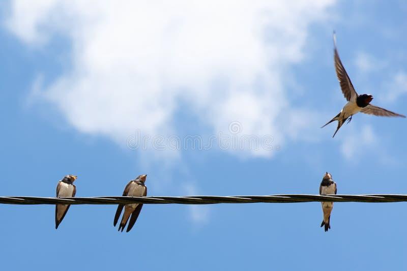 Quattro swallows fotografia stock
