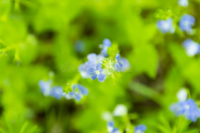 Que floresce a floresta flores azuis em um fundo verde das folhas, a imagem é fora de foco imagem de stock