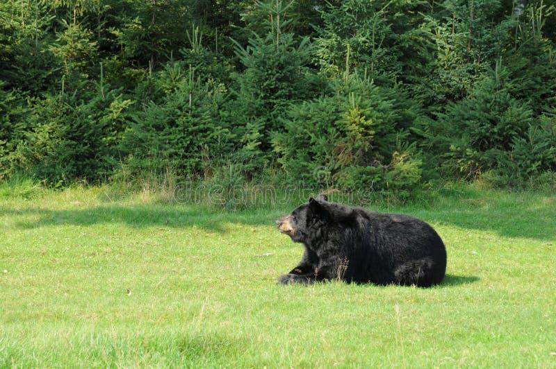 Quebec, Bär im Heiliges Felicien-Zoo lizenzfreie stockfotografie