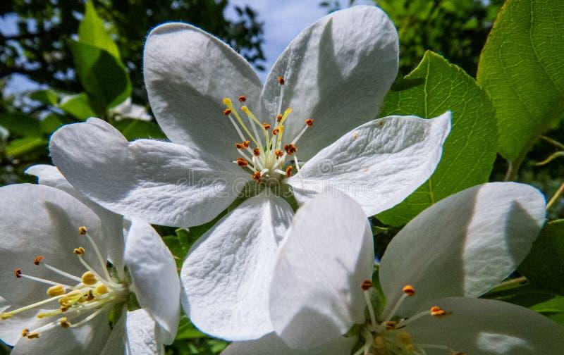 Quebec: Närbildfoto av blommor för äppleträd royaltyfri bild