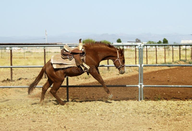 Quebrando um cavalo novo imagens de stock royalty free