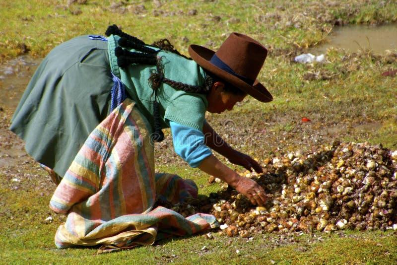 Quechua kvinna som samlar chunos, Peru arkivbilder