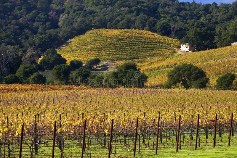 Queda amarela Napa dos vinhedos dos montes das videiras imagens de stock