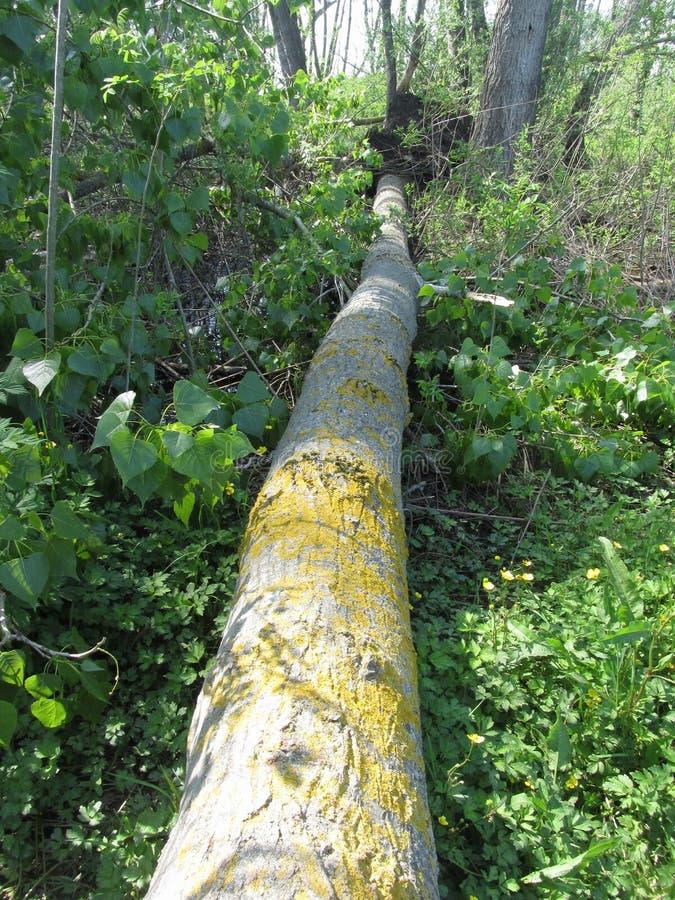 Queda da árvore na floresta causada por fenômenos naturais fotografia de stock