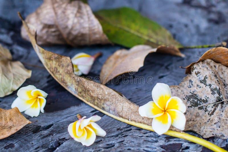 Queda da flor branca do Plumeria nas folhas secadas imagens de stock