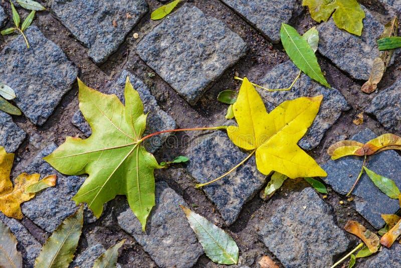 Queda da folha do outono: as folhas de bordo caídas em um granito cobbles no th imagens de stock royalty free