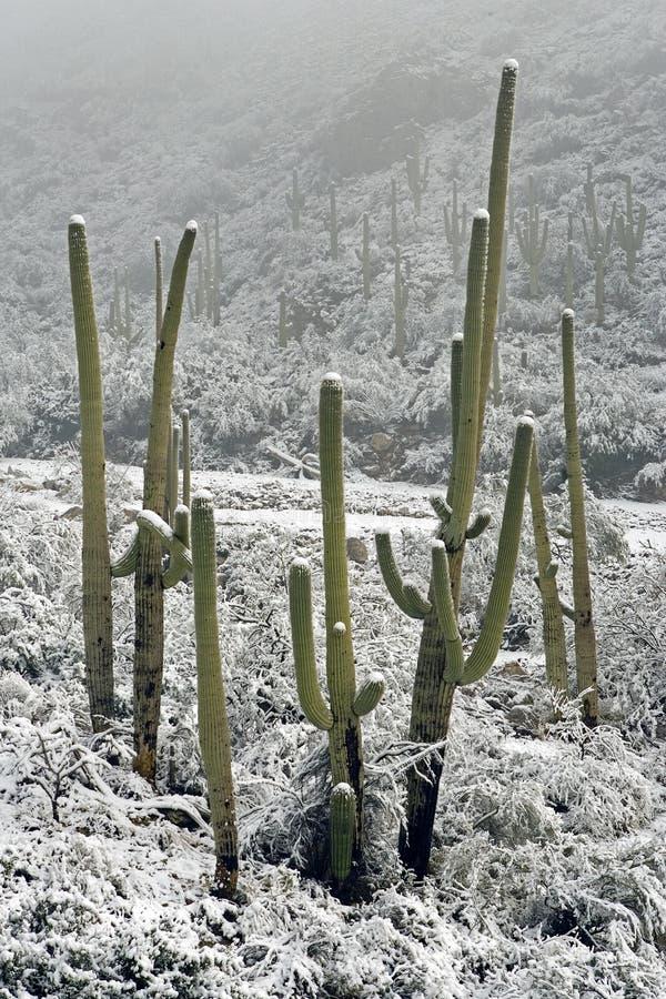 Queda de neve em Saguaros imagens de stock