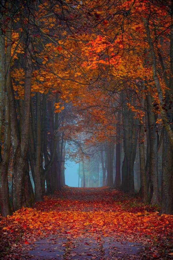 Queda do outono Manhã nevoenta nas cores vibrantes da floresta do bordo imagem de stock