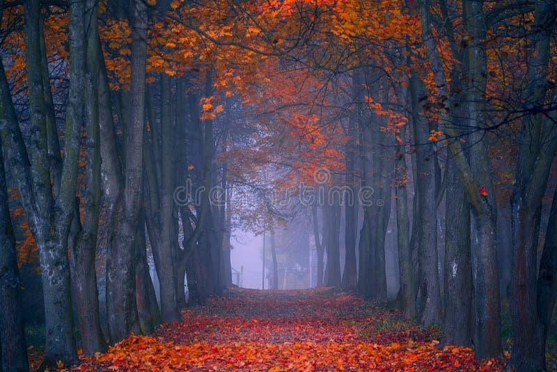 Queda do outono Manhã nevoenta nas cores vibrantes da floresta do bordo foto de stock
