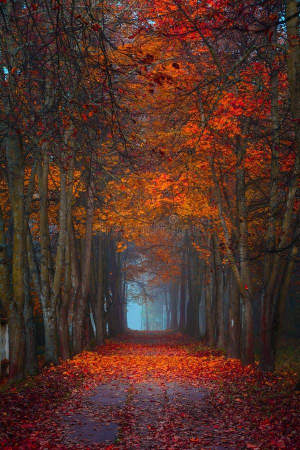 Queda do outono Manhã nevoenta nas cores vibrantes da floresta do bordo fotos de stock royalty free
