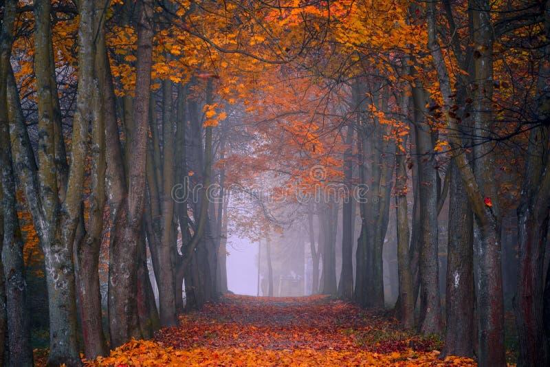 Queda do outono Manhã nevoenta nas cores vibrantes da floresta do bordo fotografia de stock