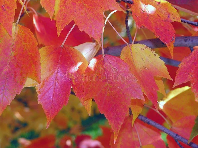 Download Queda Folliage foto de stock. Imagem de árvore, amarelo - 537960
