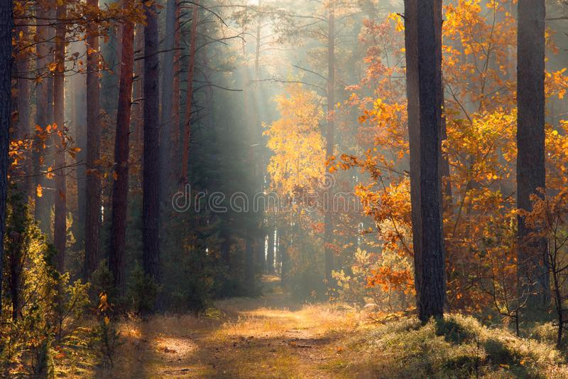 Queda Forest Forest com luz solar Trajeto no cenário da queda da floresta Fundo do outono Natureza do outono imagem de stock royalty free