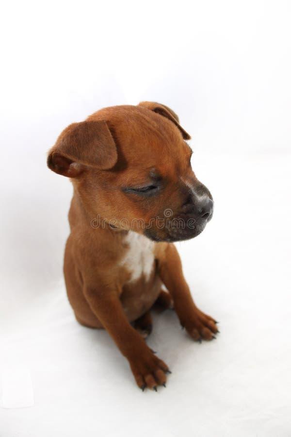 Queda pequena do cachorrinho do pugilista de Brown adormecida imagem de stock royalty free