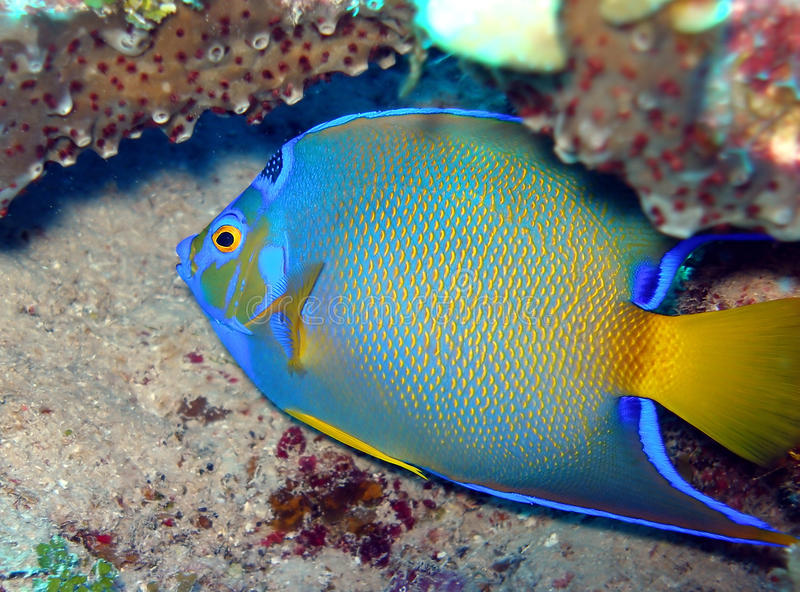 Queen Angel fish royalty free stock images