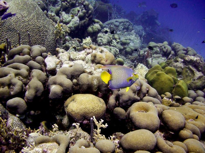 Queen Angel Fish stockbilder