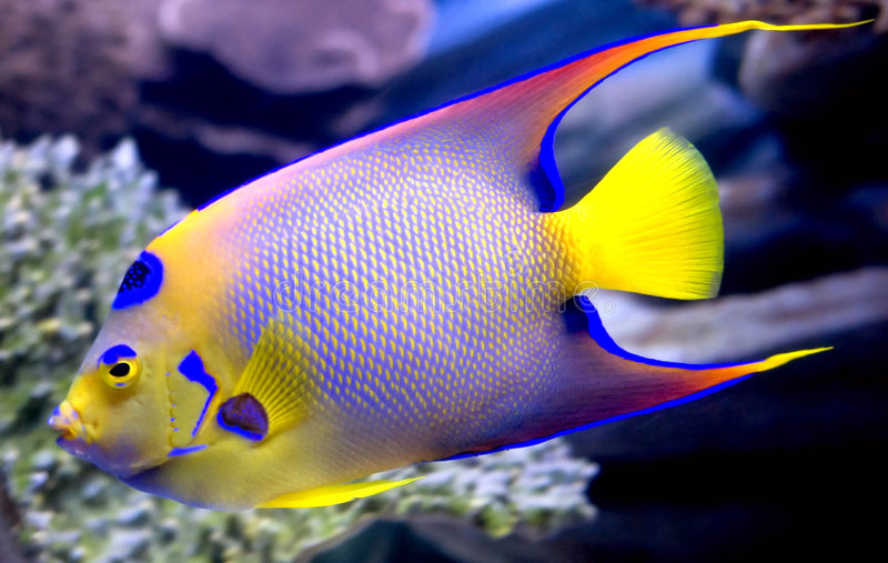 Queen angelfish 2 stock photo