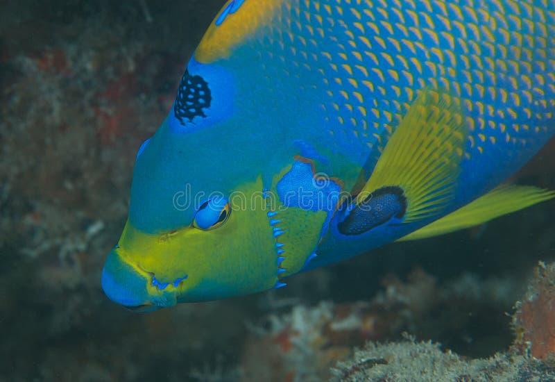 Download Queen Angelfish Stock Image - Image: 26678781