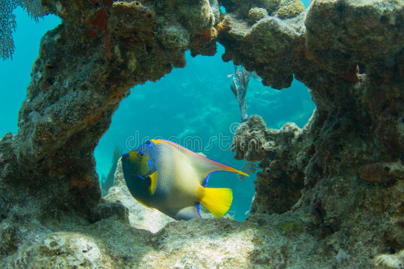Queen Angelfish through Coral Arch stock photos