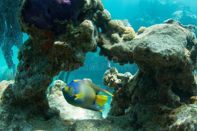 Queen Angelfish through Coral Arch royalty free stock photos