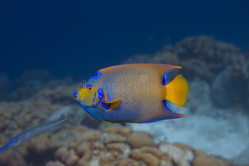 Queen Angelfish stock photography